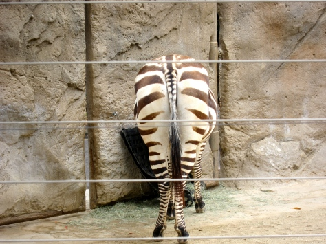 zebra butt SD Zoo